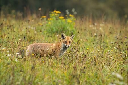 Focused red fox, vulpes vulpes, hunting on a meadow with yellow flowers in summer with copy space. Wild mammal standing in nature and looking with ears oriented forward.
