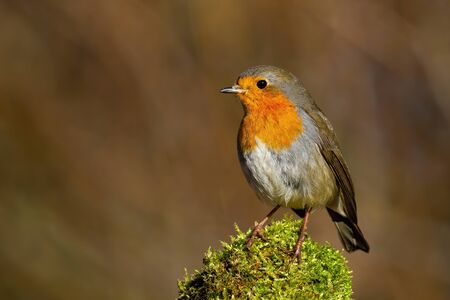 Cute european robin, erithacus rubecula, sitting on green moss on a sunny spring day in nature from front view with copy space. Small garden bird, redbreast, resting in forest.