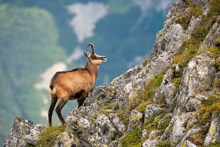 Vital tatra chamois, rupicapra rupicapra tatrica, climbing rocky hillside in mountains. Wild mammal looking up the cliff with copy space in High Tatras national park, Slovakia. Banque d'images