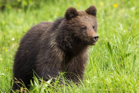 Baby brown bear, ursus arctos, cub standing on meadow with green grass in spring. Cute young animal looking aside in summer. Mammal in wilderness at sunrise.