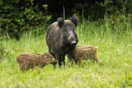wild boar, sus scrofa, herd standing close to each other in proximity. Aggressive animal mother guarding her progeny on green meadow from front view.