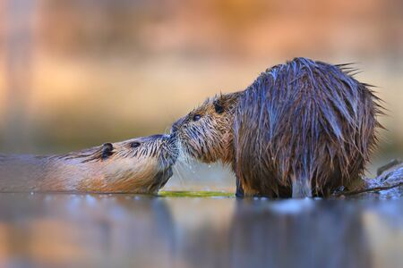 Two nutria, myocastor coypus,s touching with noses and seemingly kissing in water from low angle view. Concept of animal couple in love. Wild rodents smelling each other.