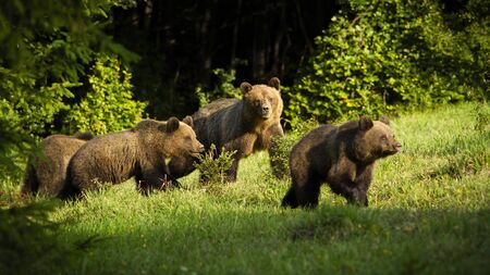brown bear, ursus arctos, family with dangerous mother and young cubs approaching in spring at sunset. Group of wild mammal with fur walking on fresh green glade on sunny day.