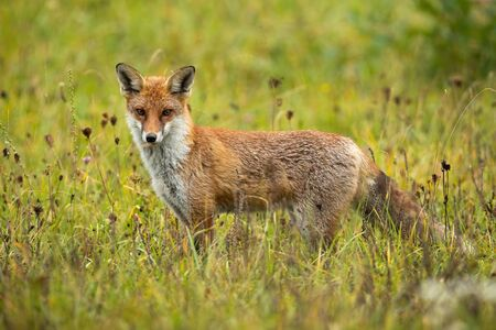 Angry red fox, vulpes vulpes, facing camera on a green meadow in summer from side view. Full frame of a wild mammal predator in natural environment. Dangerous animal in wilderness.