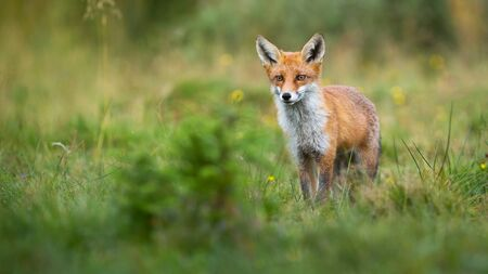 Alert red fox, vulpes vulpes, looking on a green glade in summer with copy space. Cute mammal watching in nature from front view. Animal predator observing from low angle.