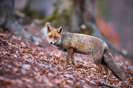 Shy red fox, vulpes vulpes, looking sad and tearful while standing in the fall foliage. Curious forest predator wandering and looking into the camera. Solitary animal surviving in the wilderness.