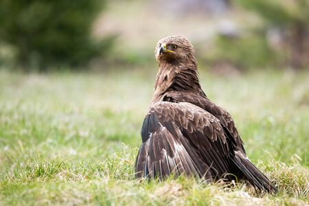 Proud lesser spotted eagle, clanga pomarina, protecting territory or prey with low hanging wings on meadow in nature. Majestic wild bird on the ground with copy space.