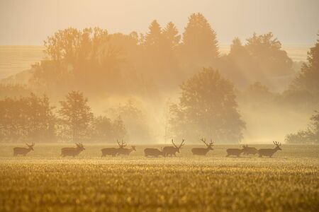 Group of red deer, cervus elaphus, stags on a field with forest in background casting shadows during sunrise. Positive scenery from nature with wild animals.