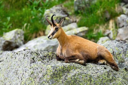 Relaxed tatra chamois, rupicapra rupicapra, resting on hillside in rocky mountain environment. Calm adult mammal with brown fur and horns in Carpathian nature in summertime. Stock Photo