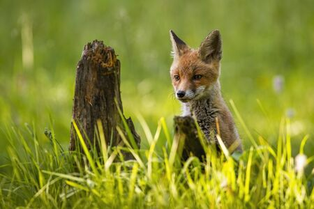 Appealing red fox, vulpes vulpes, cub peeking from tall green grass on a green spring meadow. Interested little animal looking in wilderness from front with copy space.