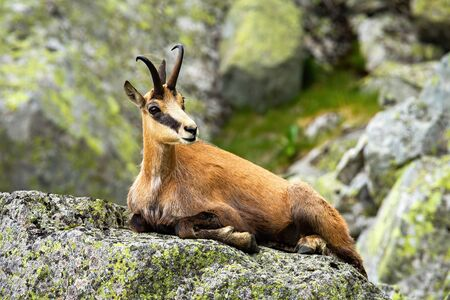 Calm tatra chamois, rupicapra rupicapra, lying down on a rock in summer mountains. Tranquil chamois resting rock from profile. Wild goat with horns resting in nature from side view. Imagens