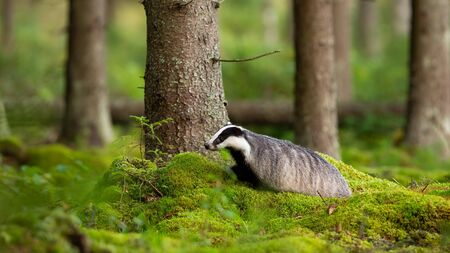 Adult european badger, meles meles, walking on green moss in summer forest. Alert badger looking aside standing by a tree in woodland with copy space. Wild mammal moving in wilderness.