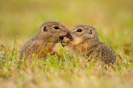 Two european ground squirrel, spermophilus citellus, standing close together and kissing. Cute sousliks in proximity on a summer meadow with grass. Animal wildlife scenery with harmonious rodents.