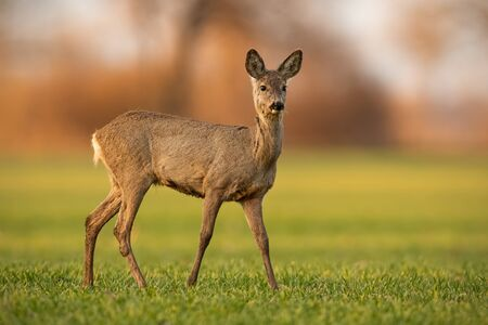 Cute roe deer, capreolus capreolus, doe walking on green field in spring nature at sunset. Alert female animal in agricultural country looking curiously with blurred background. 版權商用圖片