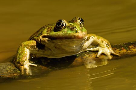 Close-up of a edible frog, pelophylax esculentus, sneaking out of water in summer. Cute green amphibian swimming in sunshine. Animal coming out of lake from front view Standard-Bild