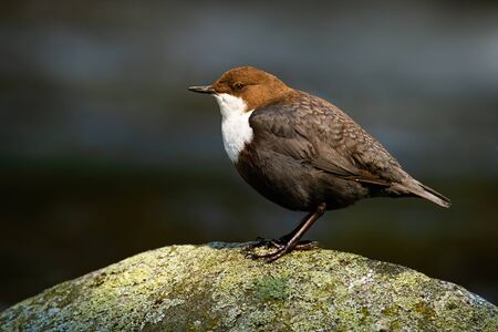 Lovely white-throated dipper, cinclus cinclus, sitting stone at sunrise with dark background in shadow. Little water passerine bird with white and brown feathers in river with water.