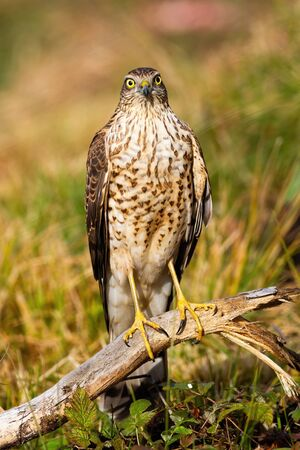 Alert eurasian sparrowhawk, accipiter nisus, facing camera in summer. Attentive wild animal watching on meadow in vertical composition. Bird with long yellow legs in nature.