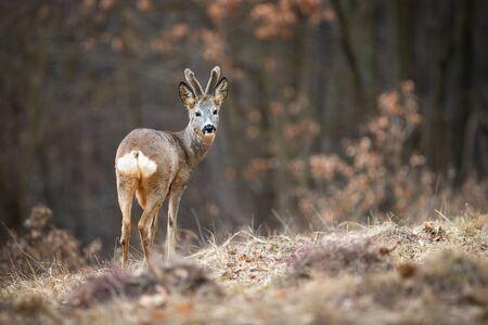 Beautiful roe deer, capreolus capreolus, with velvet antlers looking behind his back while grazing. Young buck with growing antlers standing on the meadow. European deer in its habitat.