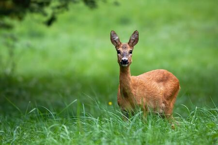 Cute female roe deer, capreolus capreolus, with big black eyes listening on green meadow in summer nature with copy space. Interested animal facing camera and standing in grass.
