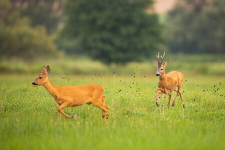 Couple of roe deer, capreolus capreolus, buck and doe running on meadow in summer paring season. Male mammal with antlers following female in courting ritual on green grass in nature.