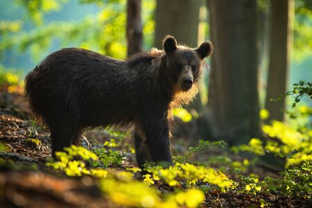 Calm young brown bear, ursus arctos, watching from side view in summer forest at sunrise.Tranquil wildlife scenery with mammal sunlit by morning rising sun. Mammal in enchanting wilderness.