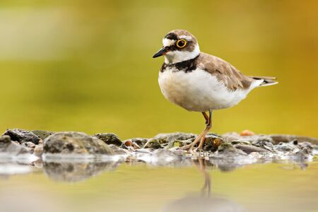 Wild little ringed plover, charadrius dubius, walking on rocks of riverbank with reflection on water in summer nature. Horizontal symmetrical image of wading bird on shore.