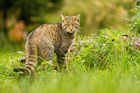European wildcat, felis silvestris, with black stripes on brown tail looking behind over shoulder in summer. Elegant mammal predator in national park of Romania, Europe.