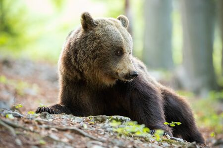 Tranquil brown bear, ursus arctos, lying down and looking behind on spring forest with blurred trees in background. Cute mammal in woodland from low angle view. Idyllic animal wildlife scenery. Stock Photo
