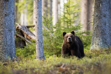 Majestic brown bear, ursus arctos, standing in mountain forest between blueberry bushes and looking into camera. Large wild animal in woodland with broken tree trunk in background. Mammal in nature.