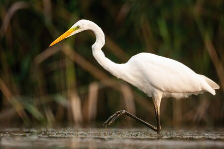 Graceful great egret, ardea alba, walking in marsh with one leg above surface and water droplet dripping down. Elegant large white bird moving in nature from low angle side view. Standard-Bild