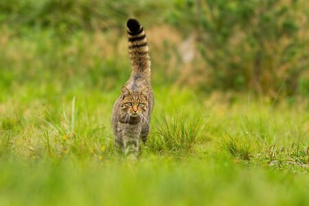 Curious european wildcat, felis silvestris, hunting with tail held high up on summer meadow. Elegant animal walking forward and looking into camera with green blurred background from front view. 版權商用圖片