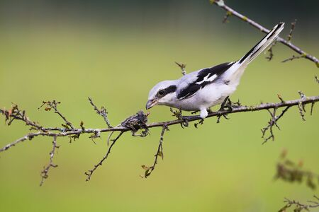 Fierce great grey shrike, lanius excubitor, sitting on a twig with mouse impaled on thorn in summer. Cruel bird with white feathers spiked its prey on sharp point to tear it apart. 写真素材