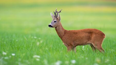 Adorable roe deer, capreolus capreolus, buck standing in green summer nature and observing its territory in mating season. Wild animal with big black eyes watching on meadow with copy space.