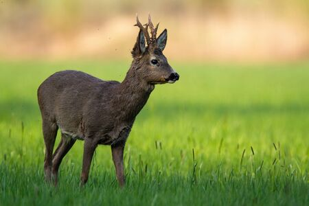Territorial roe deer, capreolus capreolus, standing in green grass and looking aside in spring nature at sunrise. Alert wild animal in shadow from low angle view. Roebuck observing on meadow 版權商用圖片
