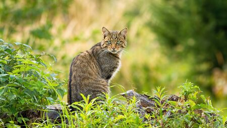 Surprised european wildcat, felis silvestris, sitting on a horizon in spring forest. Cute small animal predator with brown fur and green eyes looking behind over shoulder in nature