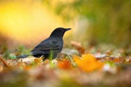 Small common blackbird, turdus merula, female sitting on the ground and looking for food between orange leafs. Surprised wild bird searching in morning light from low angle view with copy space. Archivio Fotografico