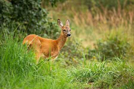 Bored female roe deer, capreolus capreolus, standing in tall vegetation, Slovakia, Europe. Still wild animal looking aside from back view in summer nature. Herbivore with elegant neck and orange fur.