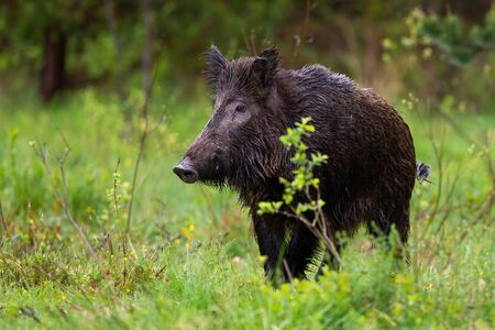 Adult wild boar, sus scrofa, with wet fur observing the green surroundings of the woodland. Wild impressive sow on the pasture. Dangerous black animal walking in the wild nature.