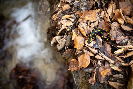 Adult fire salamander, salamandra salamandra, moving slowly near water stream in autumnal forest from above. Wild animal in water habitat with copy space. Standard-Bild