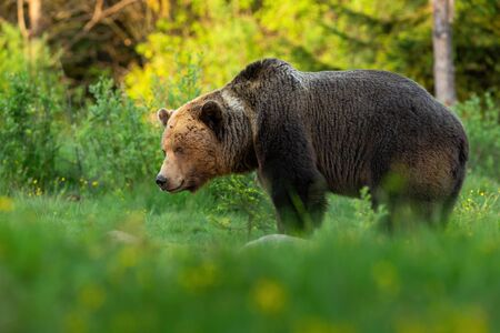 Huge brown bear, ursus arctos, male looking aside on green summer meadow at sunset. European mammal living in Carpathian forests from profile. Animal wildlife scenery from wilderness.