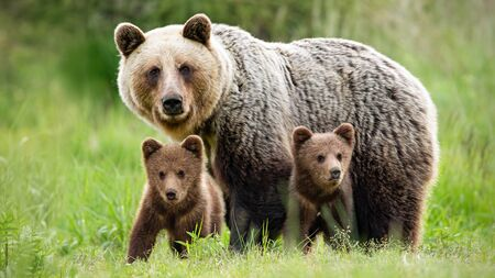 Protective female brown bear, ursus arctos, standing close to her two cubs. An adorable young mammals with fluffy coat united with mother in the middle of grass meadow. Concept of animal family. Archivio Fotografico