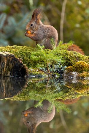 Red squirrel, sciurus vulgaris, holding a nut and feeding on it in spring forest with reflection on water surface of a pond. Symmetrical vertical composition of a furry wild mammal.