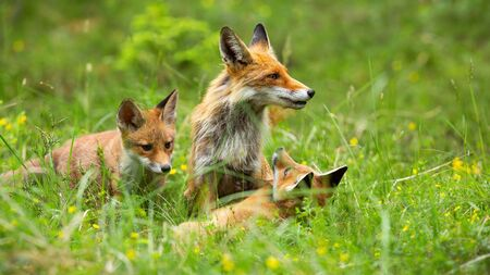 Female of red fox, vulpes vulpes, and her two little cubs relaxing on the meadow in spring. Group of foxes sitting among the wildflowers. Fox mother looking after her cubs while playing in the forest.