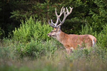 Territorial red deer, cervus elaphus, stag with growing antlers wrapped in velvet on a glade with bushes and green grass in summer nature. Dominant male mammal with orange fur looking aside. 版權商用圖片