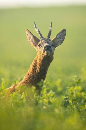 Interested roe deer, capreolus capreolus, buck sniffing with nose up on green clover field in the morning. Close-up of alert roebuck in vertical composition with copy space. Wild animal in nature.