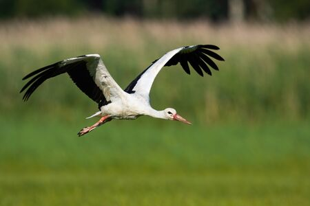 White stork, ciconia ciconia, flying above meadow with wings open in summer nature. Wild bird with long red beak approaching in air from front view. Animal wildlife moving forward.