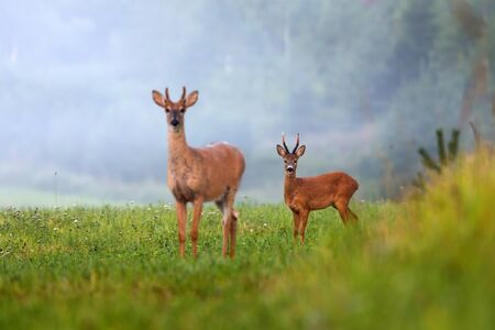 Two different species of deer on green field in summer nature. roe deer, capreolus capreolus, and white-tailed deer, odocoileus virginianus, facing camera. Banque d'images