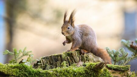 Surprised red squirrel, sciurus vulgaris, stretching hand forward in forest with little spruce tree. Interested fluffy mammal with orange fur on a tree stump with copy space,
