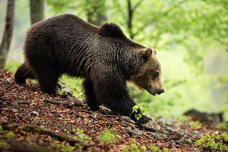 Territorial brown bear, ursus arctos, walking down the hill on ground covered with leaves and branches. Powerful male mammal with large head and strong body descending in summer nature.