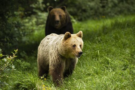 Male brown bear, ursus arctos, following female in rutting season on green meadow. Two wild mammal approaching from front view. Pair of animal in bonding behavior. Foto de archivo